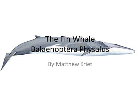 The Fin Whale Balaenoptera Physalus By:Matthew Kriet.