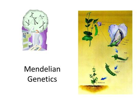 "Mendelian Genetics. Gregor Mendel Who? – Austrian monk (1865), ""Father of Genetics"" What? – Pea plants Why? – Reproduce quickly – Many, different observable."