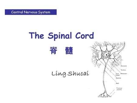 Ling Shucai Central Nervous System The Spinal Cord 脊 髓.