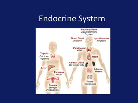 Endocrine System. Regulates overall metabolism, homeostasis, growth and reproduction Glands – are organs that specialize in the secretion of substances.