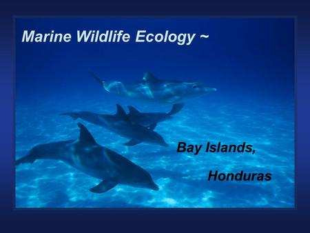 Marine Wildlife Ecology of the Bay Islands, Honduras Marine Wildlife Ecology ~ Bay Islands, Honduras.