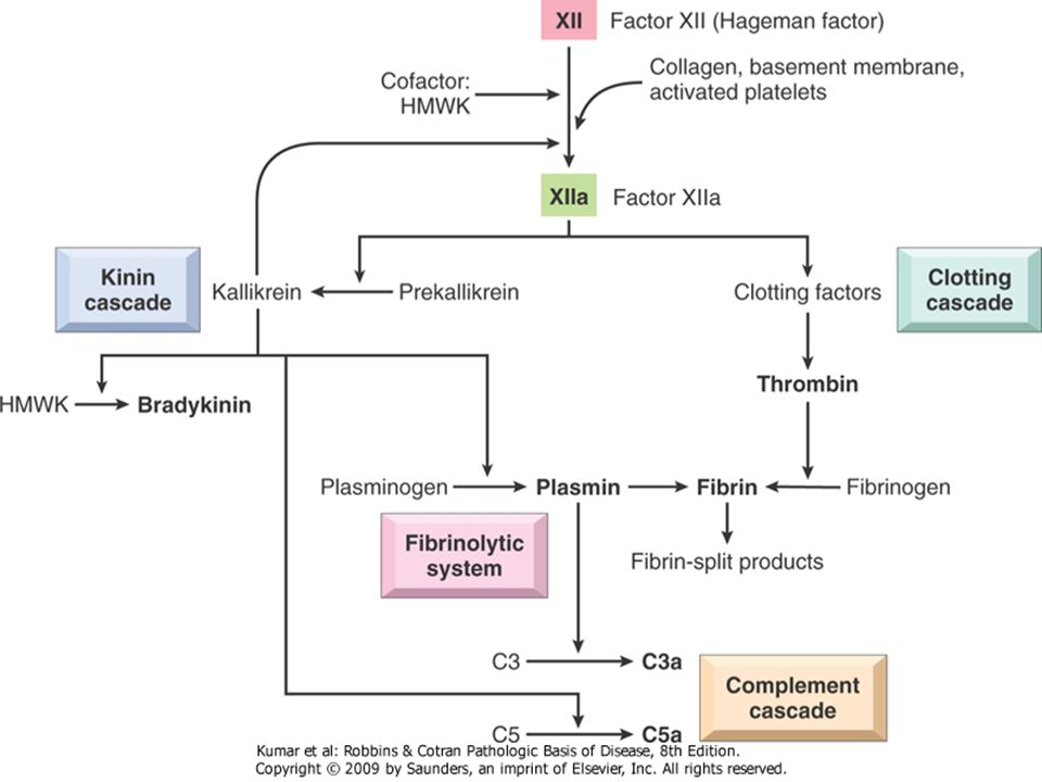 Summary Bradykinin, C3a, and C5a ◦ Mediators of increased vascular permeability C5a ◦ Mediator of chemotaxis Thrombin ◦ Effects on endothelial cells and many other cell types