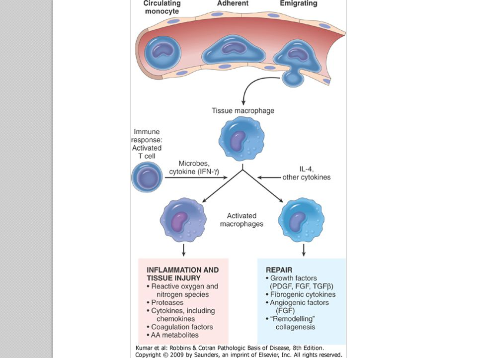 Other Cells in Chronic Inflammation Lymphocytes Plasma cells ◦ Develop from activated B lymphocytes ◦ Produce antibodies  Directed either against persistent foreign or self antigens