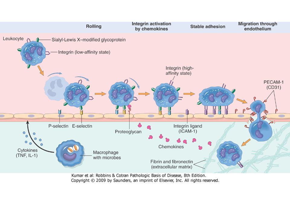Recruitment of Leukocytes to Sites of Infection and Injury Margination ◦ Blood flow slows early in inflammation (stasis) ◦ Hemodynamic conditions change (wall shear stress decreases) ◦ More white cells assume a peripheral position along the endothelial surface Rolling on the vessel wall ◦ Individual and then rows of leukocytes adhere transiently to the endothelium ◦ Detach and bind again