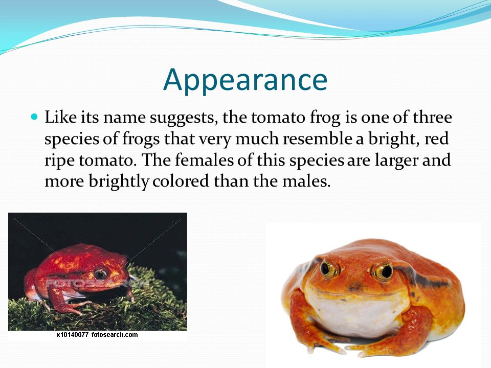 Interesting Fact Obviously the first thing you notice about the Tomato Frog is the bright red coloring.