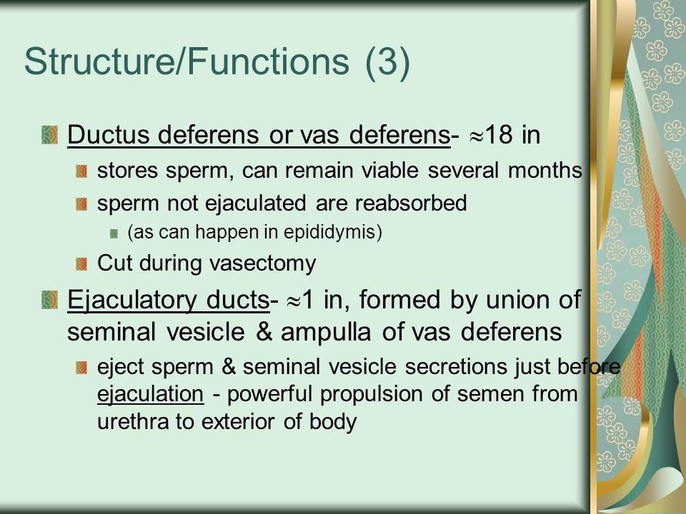 Structure/functions (4) Urethra- shared terminal duct of reproductive & urinary system Passes thru: prostate gland (prostatic urethra) urogenital diaphragm (membraneous urethra) penis (spongy urethra) Penis- passageway for ejaculation of semen & excretion of urine