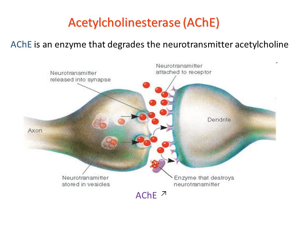 Acetylcholinesterase (AChE) AChE is an enzyme that degrades the neurotransmitter acetylcholine ↗ AChE