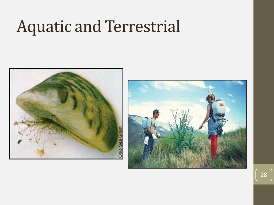 Aquatic invaders of highest concern Eurasian Watermilfoil Zebra and Quagga mussels New Zealand mudsnails 29