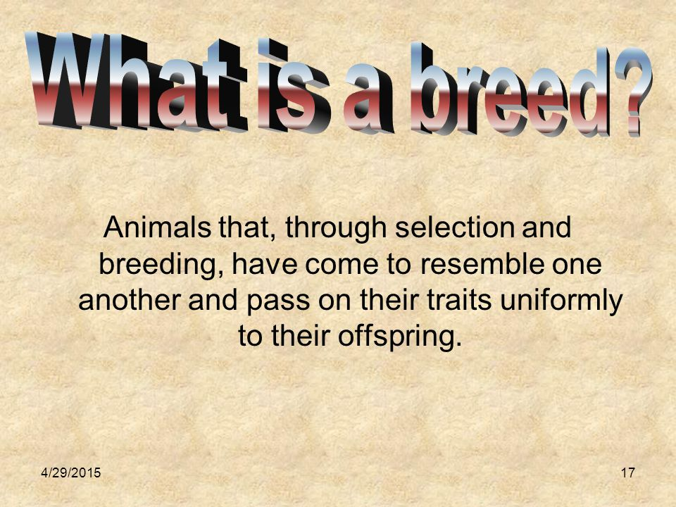 4/29/201518 Beef Breeds What's the difference between British breeds and continental breeds?