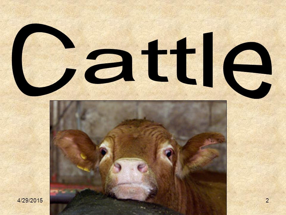 3 Giving Birth: Newly Born: Young Male: Young Female: Calving Calf Bull Heifer