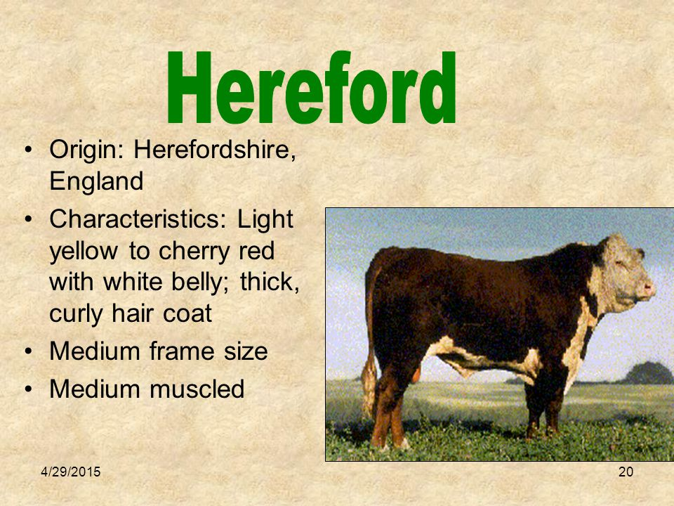 4/29/201521 Origin: Northern England Characteristics: Color varies, mostly roan (red and white color) Medium to large frame size Medium muscle