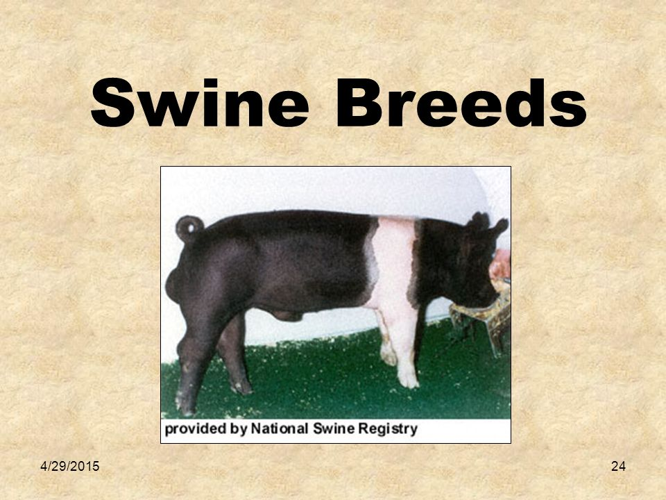 4/29/201525 Duroc Origin-New York/New Jersey Ears- Droopy Color- Cherry Red Misc.-Large frame, fast gainers, good mothers, popular breed