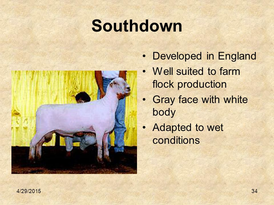4/29/201535 Suffolk Originated in England Most popular breed in the United States today Produce large amounts of meat White with black faces and legs