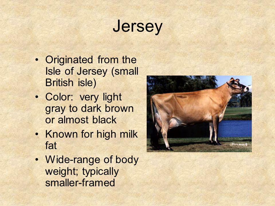 Milking Shorthorn Originated in England Color: red, white, red and white, roan Most versatile of all breeds: good producers, good temperament, good calves, good frame
