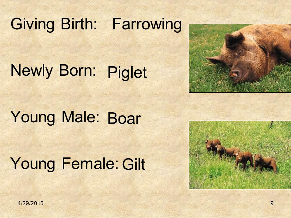 4/29/201510 Mature Male: Mature Female: Castrated Male: Boar Sow Barrow
