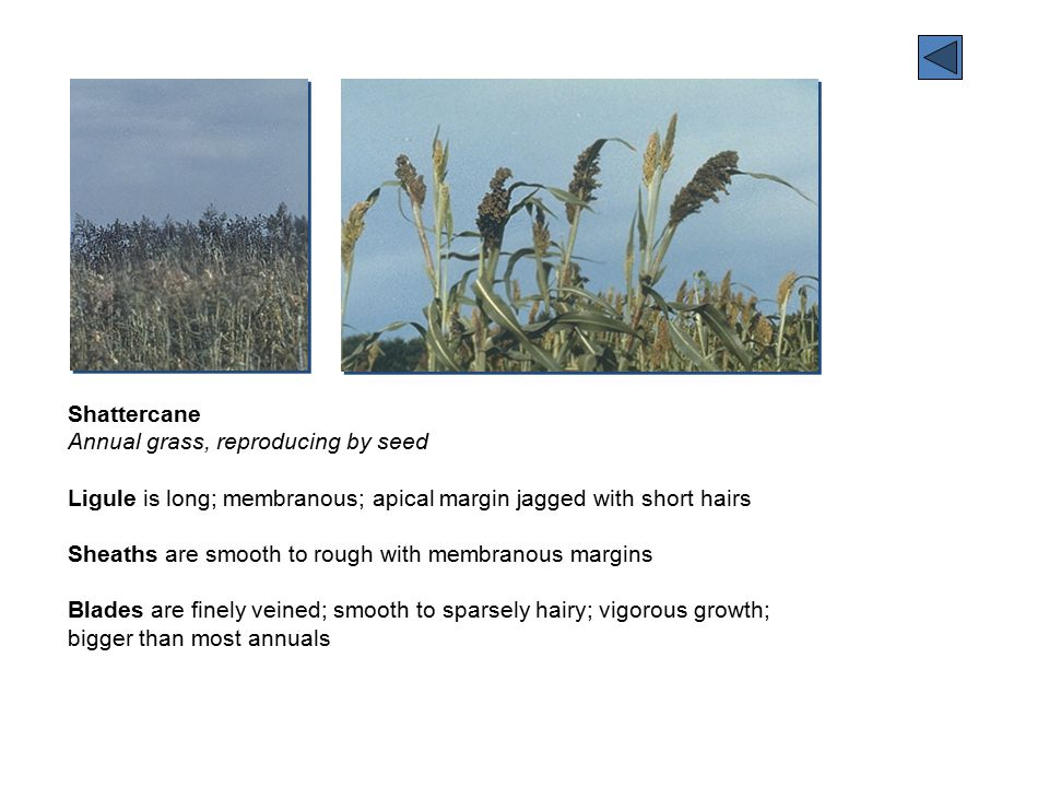 Stinkgrass Annual, reproducing by seed Sheaths smooth except for hairs on upper portion Blades smooth; 1/16 to 5/16 inch wide; plant has disagreeable odor Flowers borne in branched panicles with many spikelets 1/4 to 5/8 long