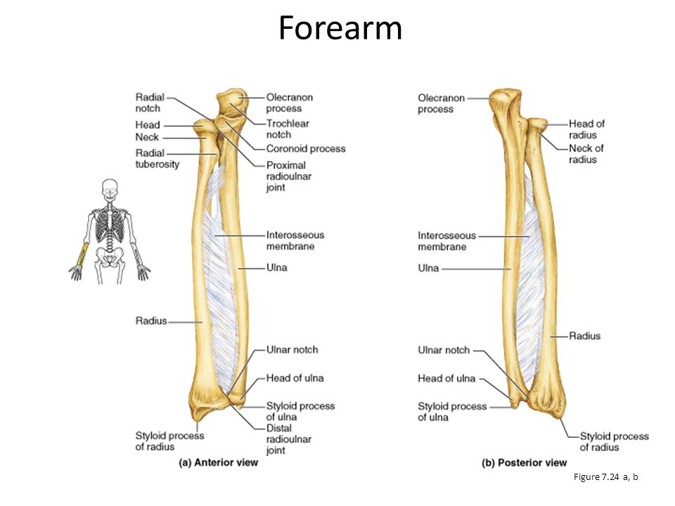 Ulna In anatomical position, the ulna lies medial to the radius Slightly longer than the radius Forms the major portion of the elbow joint with the humerus