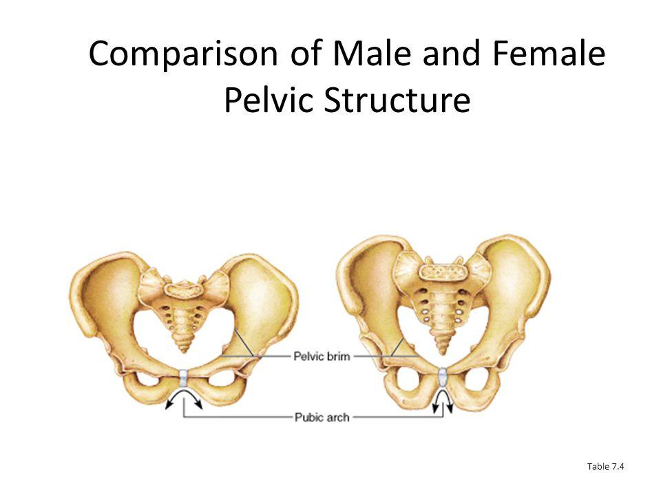 Male vs. Female Pelvic Structure