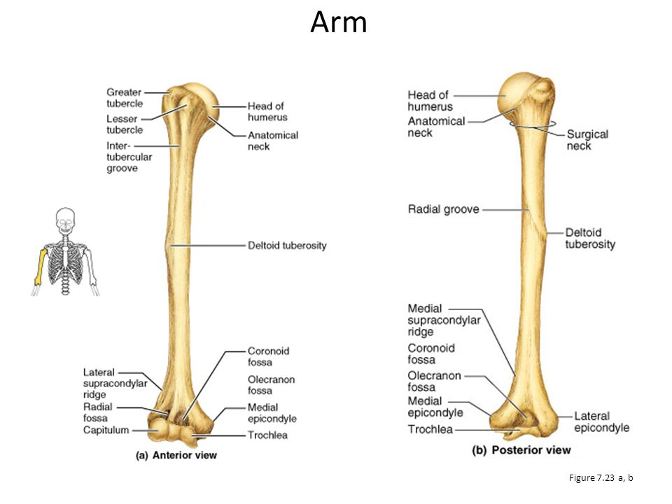 Forearm The bones of the forearm are the: 1.Radius 2.Ulna They articulate proximally with the humerus and distally with the wrist bones