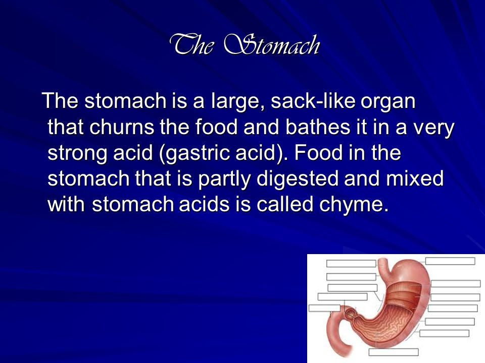 The Small intestine The long, thin winding tube that food goes through after it leaves the stomach.
