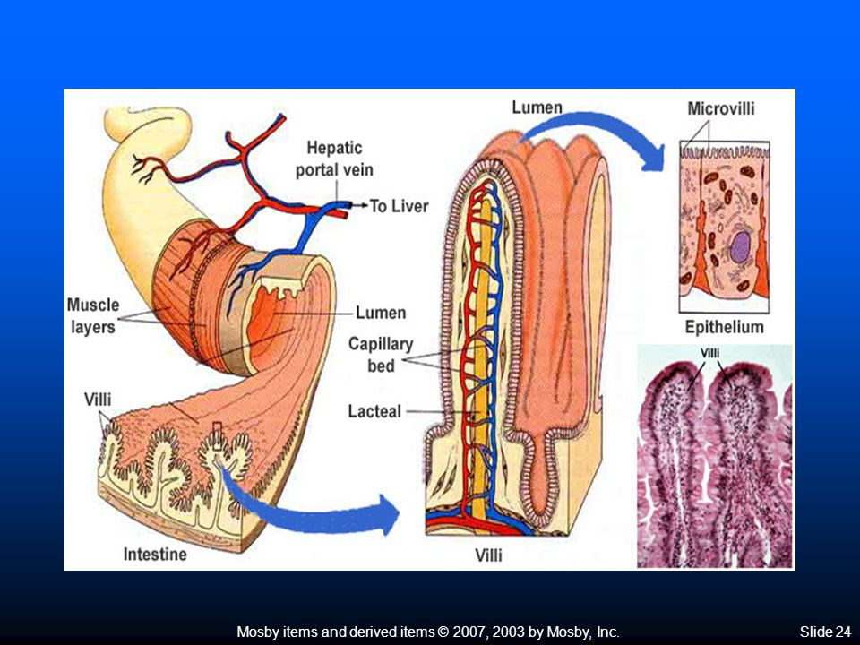 Mosby items and derived items © 2007, 2003 by Mosby, Inc.Slide 25 Large Intestine  Size of the large intestine—average diameter, 6 cm; length, approximately 1.5 to 1.8 m  Divisions of the large intestine  Cecum—first 5 to 8 cm of large intestine, blind pouch located in lower right quadrant of abdomen  Colon Ascending colon—vertical position on right side of abdomen; ileocecal valve prevents material passing from large intestine into ileum Ascending colon—vertical position on right side of abdomen; ileocecal valve prevents material passing from large intestine into ileum Transverse colon passes horizontally across abdomen, above small intestine; extends from hepatic flexure to splenic flexure Transverse colon passes horizontally across abdomen, above small intestine; extends from hepatic flexure to splenic flexure Descending colon—vertical position on left side of abdomen Descending colon—vertical position on left side of abdomen Sigmoid colon joins descending colon to rectum Sigmoid colon joins descending colon to rectum Rectum—last 7 or 8 inches of intestinal tube; terminal inch is anal canal with opening called the anus (Figure 25-17) Rectum—last 7 or 8 inches of intestinal tube; terminal inch is anal canal with opening called the anus (Figure 25-17)
