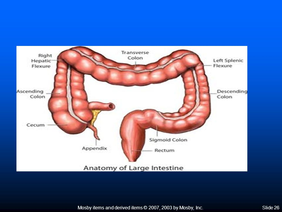 Mosby items and derived items © 2007, 2003 by Mosby, Inc.Slide 27 Large Intestine  Wall of the large intestine (Figure 25-19)  Intestinal mucous glands produce lubricating mucus that coats feces as they are formed  Uneven distribution of fibers in the muscle coat
