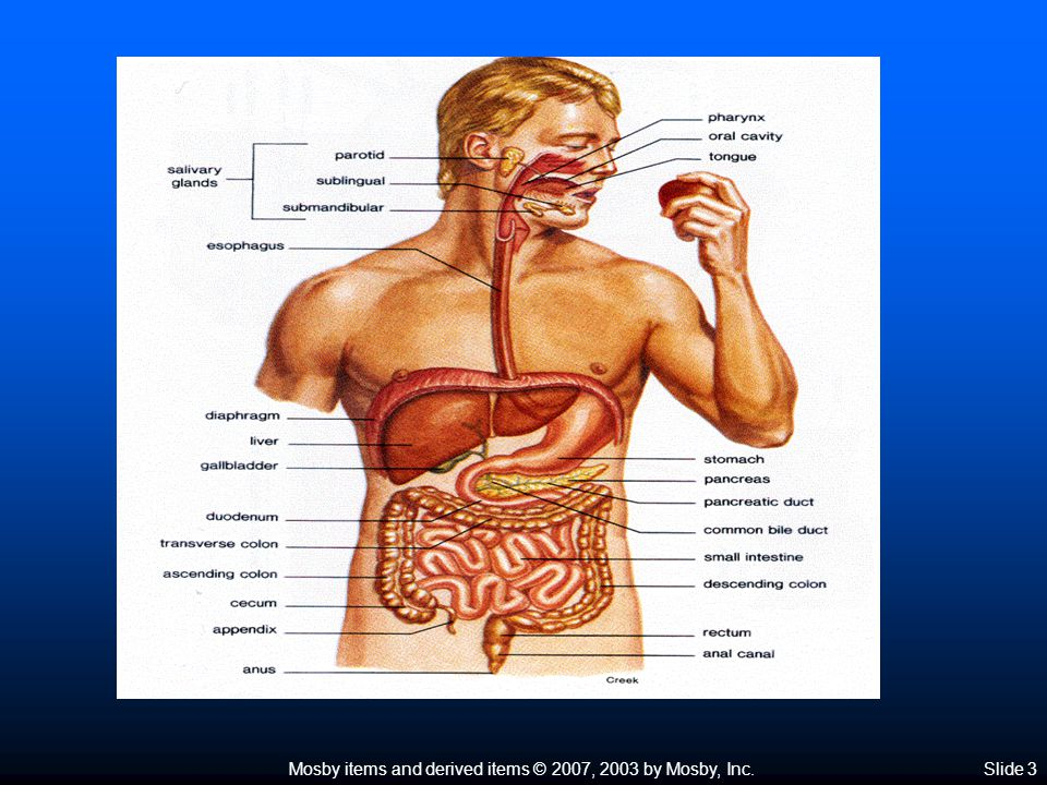 Mosby items and derived items © 2007, 2003 by Mosby, Inc.Slide 4 Overview of the Digestive System  Organization of the digestive system  Organs of digestion Main organs of the digestive system form the GI tract that extends through the abdominopelvic cavity Main organs of the digestive system form the GI tract that extends through the abdominopelvic cavity Ingested food material passing through the lumen of the GI tract is outside the internal environment of the body Ingested food material passing through the lumen of the GI tract is outside the internal environment of the body  Wall of the GI tract Layers—GI tract is made of four layers of tissues: mucosa, submucosa, muscularis, and serosa Layers—GI tract is made of four layers of tissues: mucosa, submucosa, muscularis, and serosa Modifications of layers—layers of the GI tract have various modifications to enable it to perform various functions Modifications of layers—layers of the GI tract have various modifications to enable it to perform various functions