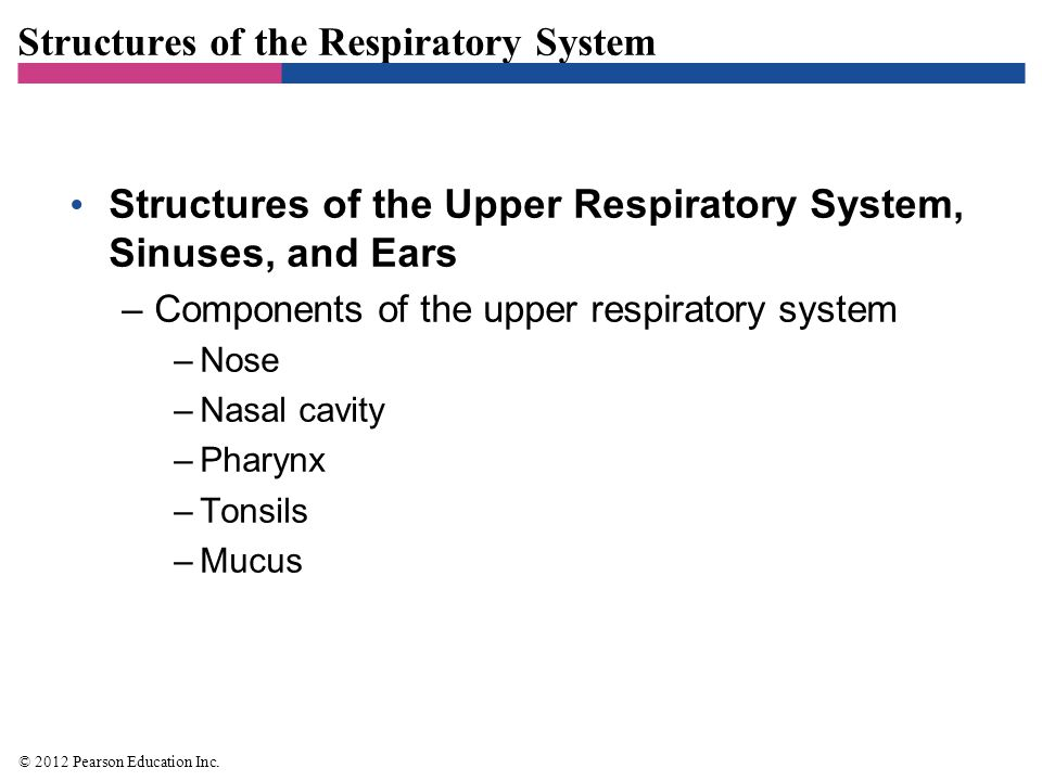 Structures of the Respiratory System Structures of the Lower Respiratory System –Components of the lower respiratory system –Larynx –Trachea –Bronchi –Alveoli –Diaphragm –Various protective components –Ciliated mucous membrane, alveolar macrophages, and secretory antibodies © 2012 Pearson Education Inc.