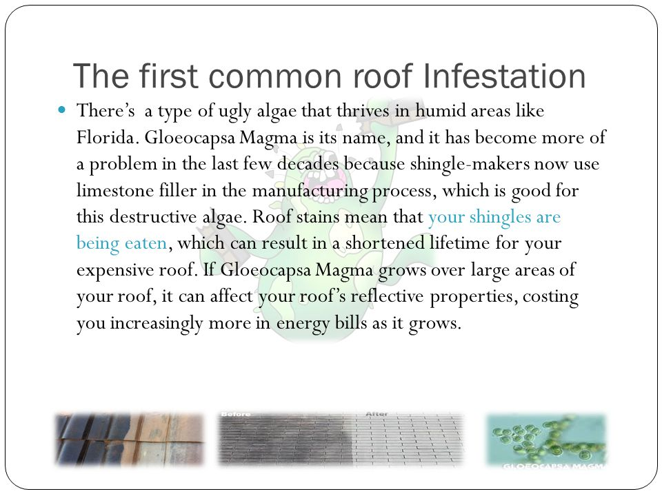The second common roof infestation Lichens are an admirably tough symbiotic organism made up of two partners, typically an algae (usually a green algae or Chlorophyta, less often a cyanobacteria) and a fungus (usually an Ascomycete, occasionally a Basidiomycete).