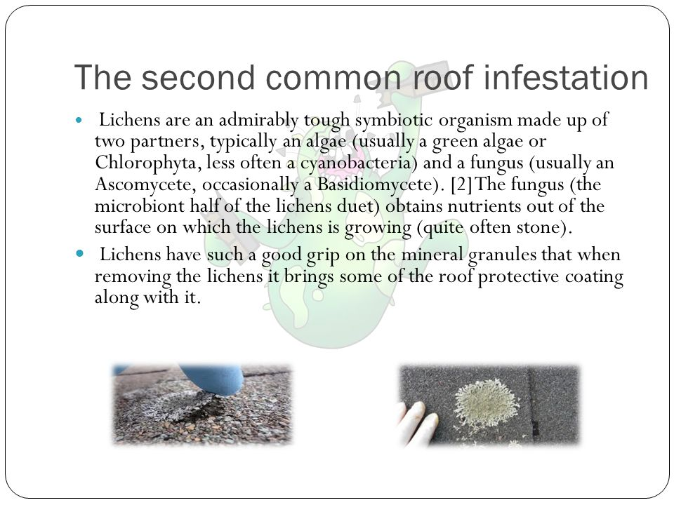 The third common roof infestation Moss is a plant species that grows really well in humid areas like Florida.Moss As the moss thickens and grows on an asphalt shingle roof, it can raise the shingles up (much like a jack under a car).