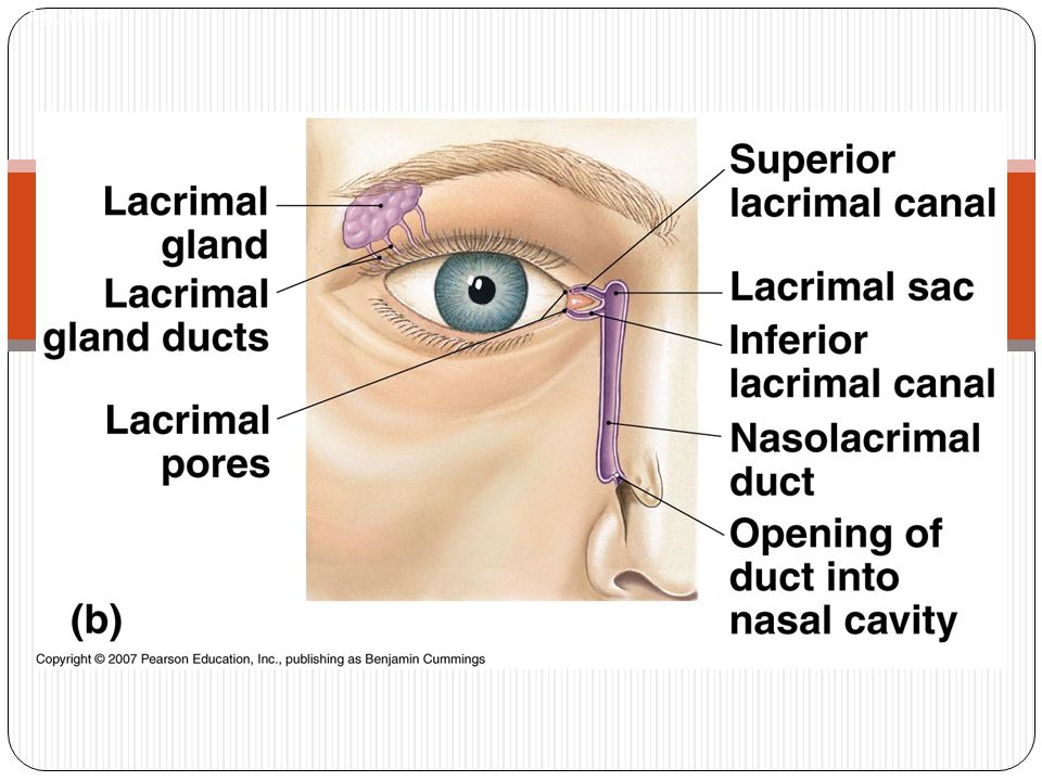 Accessory cont… Nasolacrimal duct Connects eye to nose