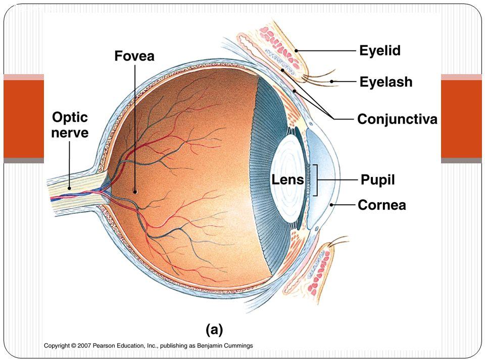 Vascular tunics Blood vessels for the eye Regulates light into eye Controls shape of lens