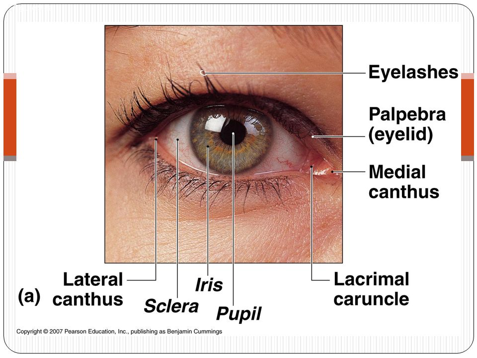 Accessory cont… Sebaceous Glands In eyelashes Keeps eyelids from sticking Sty—Painful swelling Due to bacterial infection