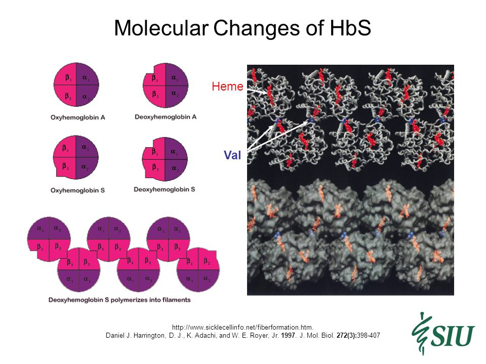 Molecular and Cellular Changes of HbS http://www.emedicine.com/ped/TOPIC2096.HTM Decreased P O 2 Permanent damage to RBC Cellendothelium interactions