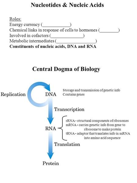 Nucleotides & Nucleic Acids Roles: Energy currency (____________) Chemical links in response of cells to hormones (________) Involved in cofactors (______________)