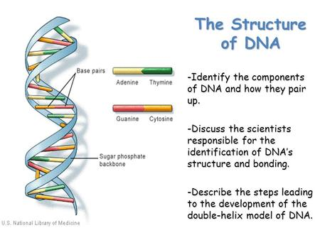 The Structure of DNA -Identify the components of DNA and how they pair up. -Discuss the scientists responsible for the identification of DNA's structure.