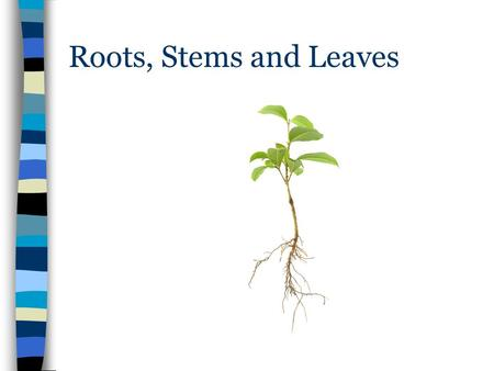 Roots, Stems and Leaves. Roots, Stems, and Leaves The three principal organs of seed plants are roots, stems, and leaves. –Perform functions such as the.