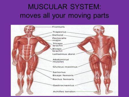 MUSCULAR SYSTEM: moves all your moving parts. WHAT DOES THE MUSCULAR SYSTEM DO? THE MUSCULAR SYSTEM ACCOUNTS FOR ALL OF THE WAYS THAT THE PARTS OF THE.