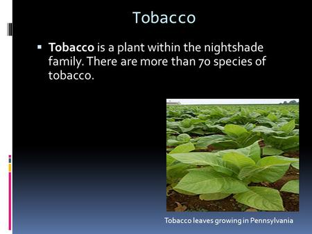 Tobacco  Tobacco is a plant within the nightshade family. There are more than 70 species of tobacco. Tobacco leaves growing in Pennsylvania.
