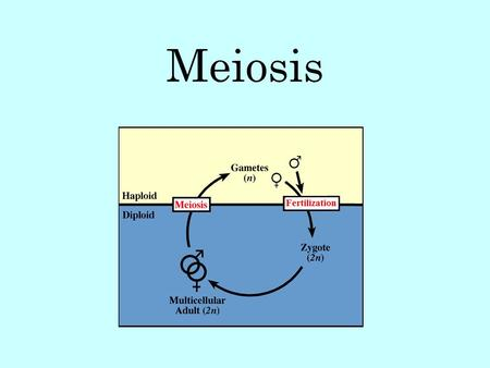 Meiosis. Meiosis is a form of cell division where diploid body cells make haploid gametes. In humans, this means cells that have 46 chromosomes (2N) divide.