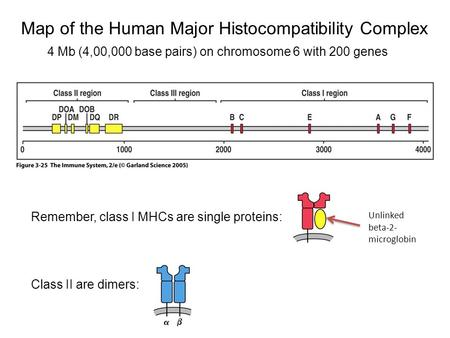 Figure 3-25 Map of the Human Major Histocompatibility Complex 4 Mb (4,00,000 base pairs) on chromosome 6 with 200 genes Remember, class I MHCs are single.