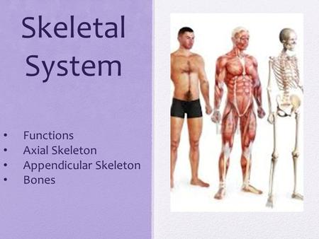 Skeletal System Functions Axial Skeleton Appendicular Skeleton Bones.