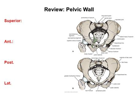 Review: Pelvic Wall Superior: Ant.: Post. Lat.. The Pelvic Floor (Inferior Pelvic Wall)