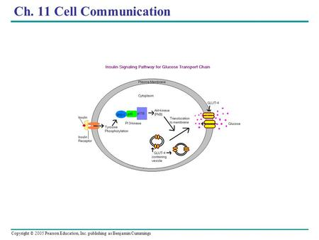 Copyright © 2005 Pearson Education, Inc. publishing as Benjamin Cummings Ch. 11 Cell Communication.