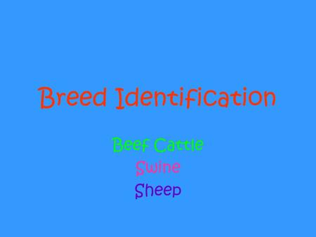 Breed Identification Beef Cattle Swine Sheep. Beef Cattle Texas Longhorn.
