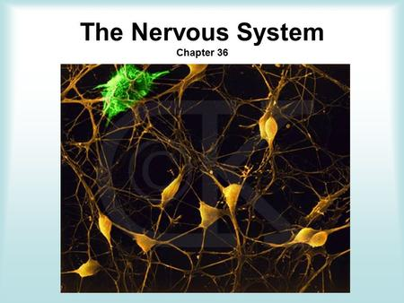 The Nervous System Chapter 36. Objectives Analyze how nerve impulses travel within the nervous system. Recognize the functions of the major parts of the.