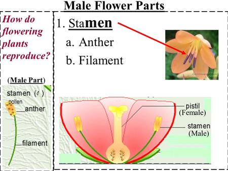 1. Sta men a.Anther b.Filament How do flowering plants reproduce? (Male) (Female) Male Flower Parts (Male Part) pollen.