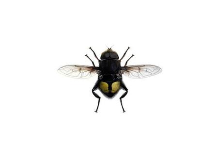 Flower Fly Looks like a social bee or wasp Antennae are short with a bristle on end Has only one pair of wings Cannot sting or bite Hairy Considered a.