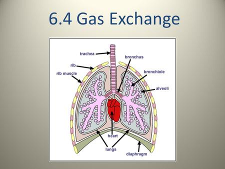 6.4 Gas Exchange. Some basic ideas: We have to breathe so that we can exchange the carbon dioxide that our cells produce during cell respiration for the.