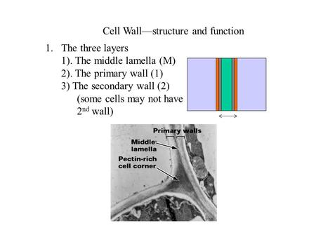 Cell Wall—structure and function